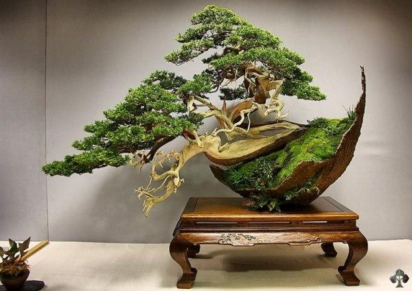 Fotos del arbol bonsai