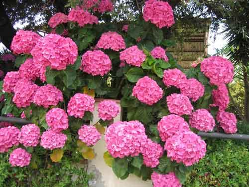 Ornamentacion y flores hortensias