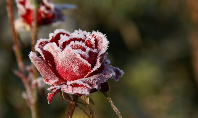 proteger rosas del frío