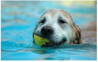 Perros nadando con una pelota