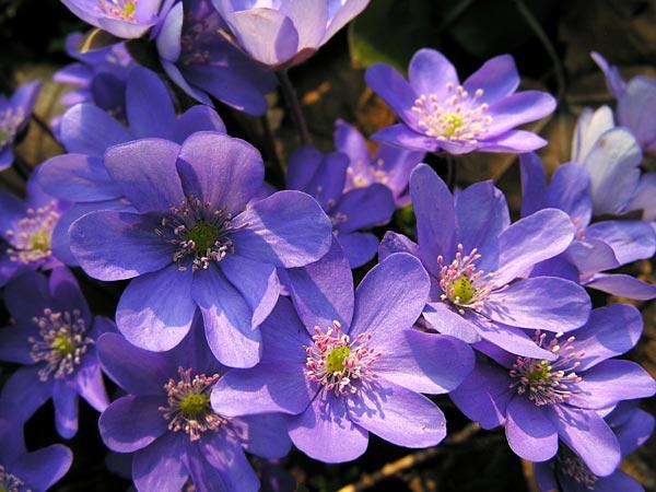 Propiedades de las violetas africanas